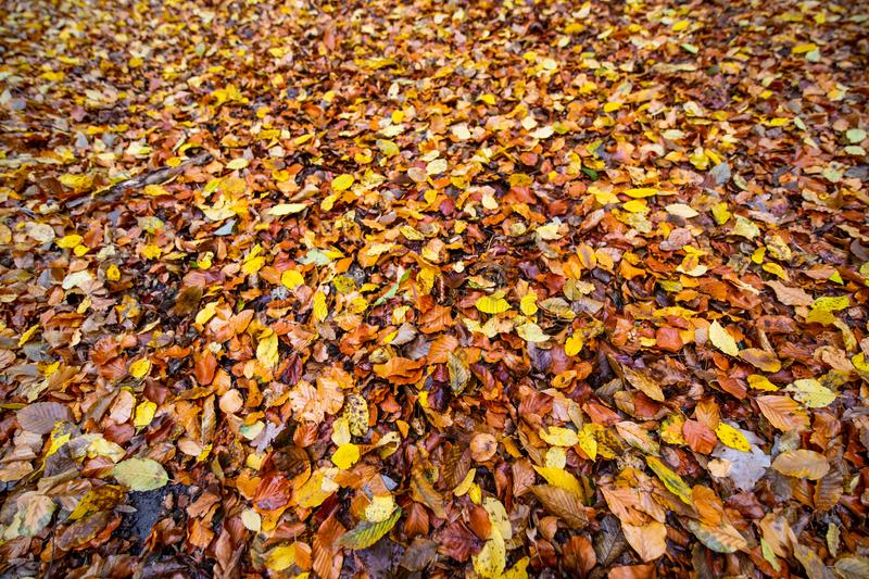 Autumnal colored beech leaves fallen on the forest floor stock images
