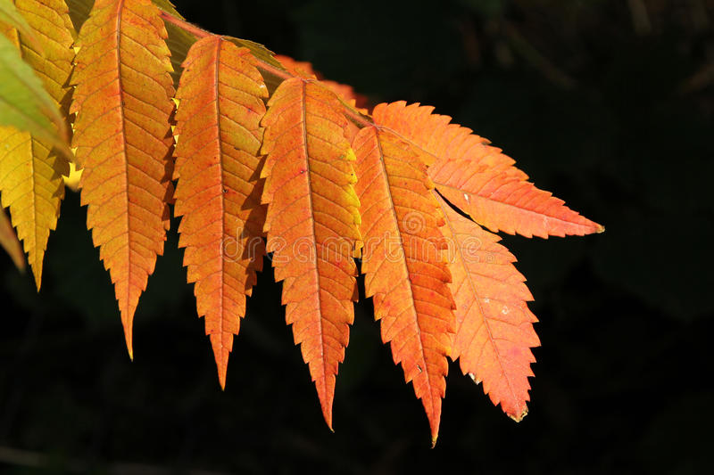 Autumnal colored branch of sumac tree. On black background stock photos