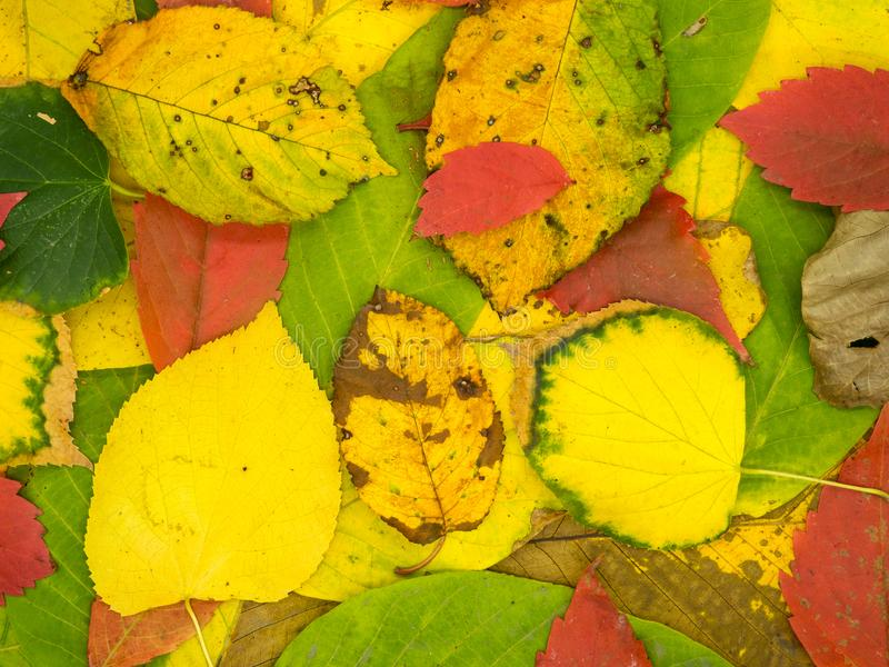 Autumnal colored leafs carpet abstract texture. Photo royalty free stock image