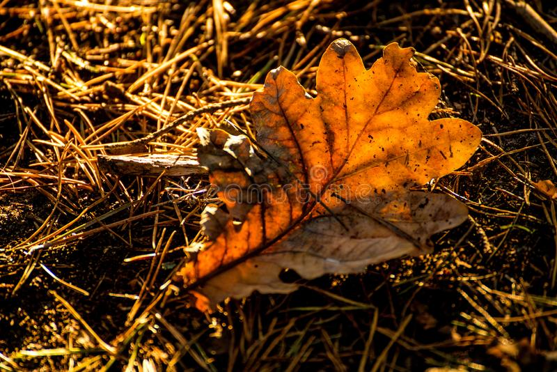 Autumnal colored oak leaf in back light royalty free stock images