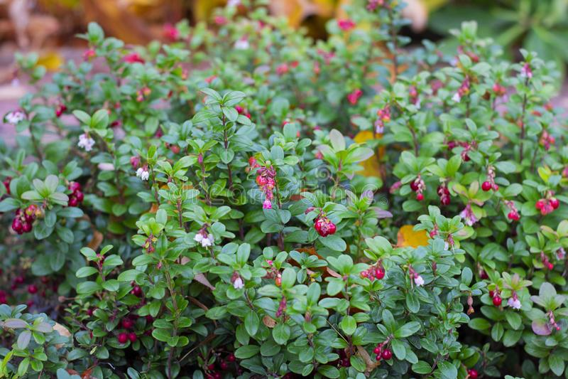 Autumnal colorful green leaves of red billberry bush with fully ripened berries, whortleberry. Vaccinium vitis idaea. Bushes in forest. Selective focus stock images