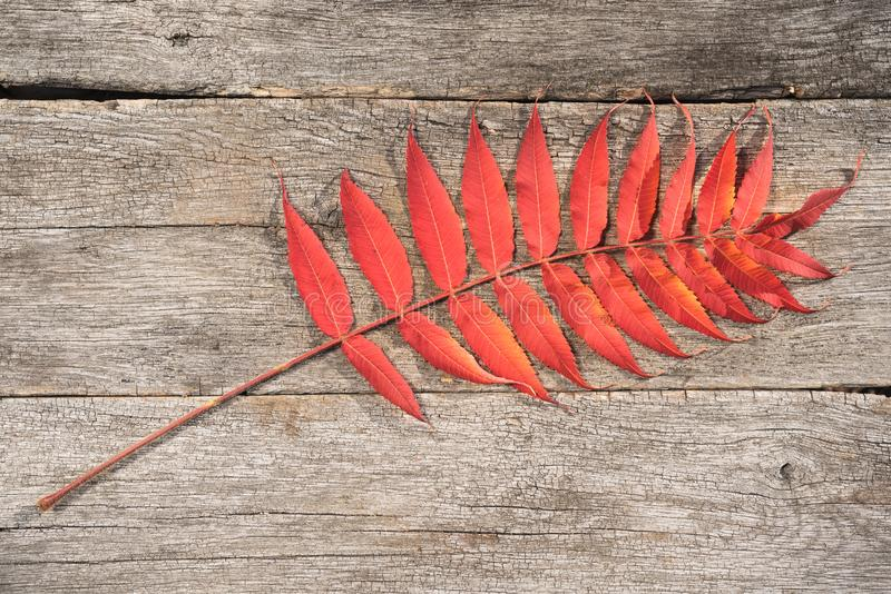 Autumnal, colorful leaf seen from above, which lies on old wooden boards. Flat-lay visualization with copy space. stock image