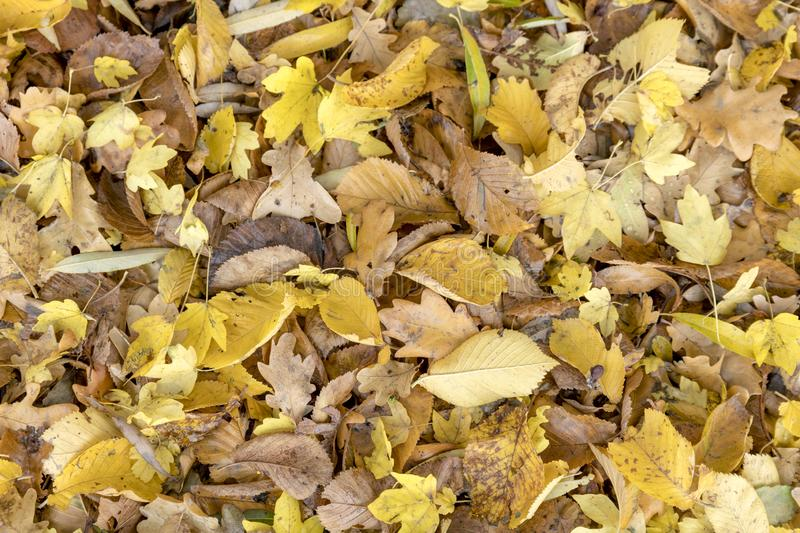 Autumnal colorful leaves of maple trees. Full frame. As a background stock photography