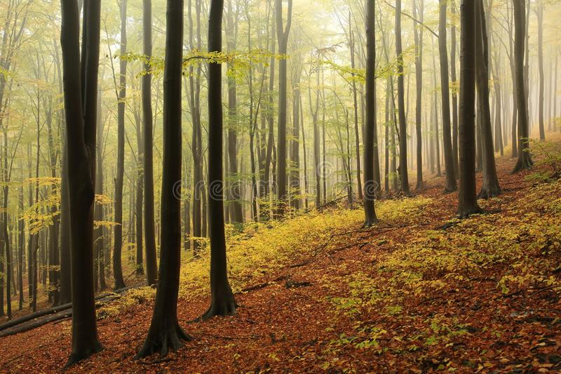 Misty autumn forest in rainy weather royalty free stock photo