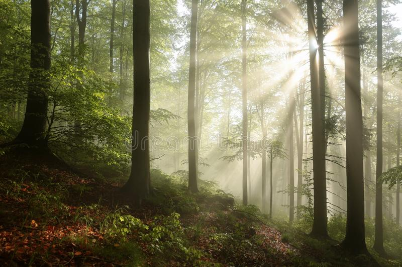Misty autumn beech forest in the sunshine stock images