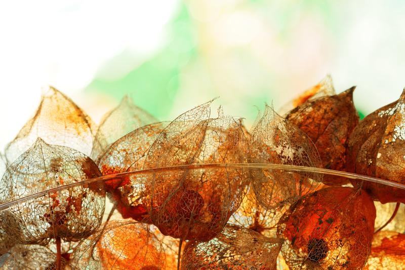 Autumnal Decoration with weathered Physalis alkekengi in Back Light. Closeup of single weathered sepals of Physalis alkekengi arranged in a glass bowl, against stock images