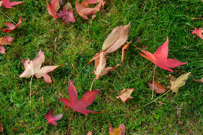 Autumnal fallen leaves of a Japanese Maple tree in East Grinstead royalty free stock photos