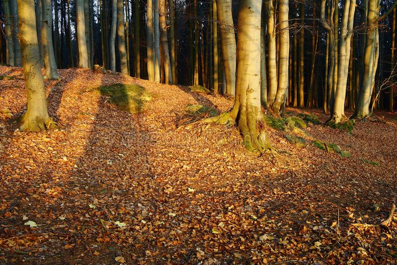 Autumnal forest. Autumnal still life in deciduous temperate forest stock photos