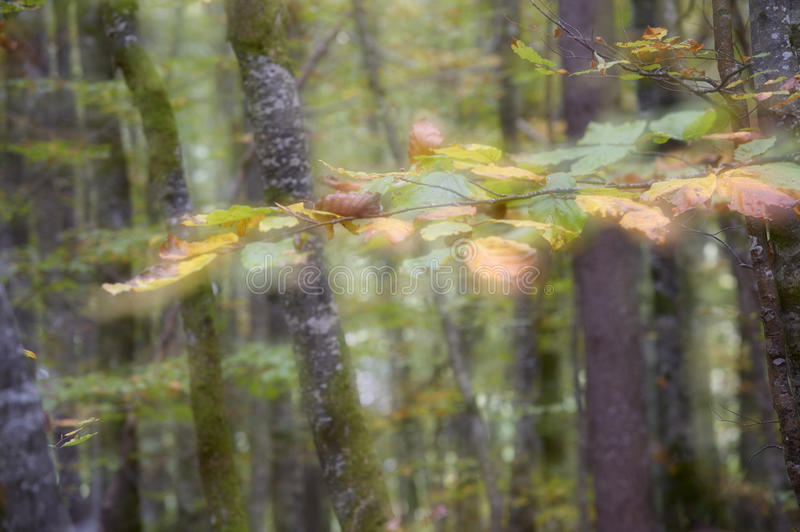Autumnal forest. With a double exposure for soft focus on purpose royalty free stock images