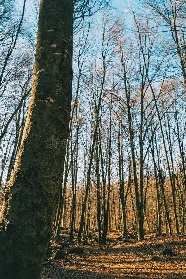 An autumnal forest. Full of bare trees royalty free stock photos