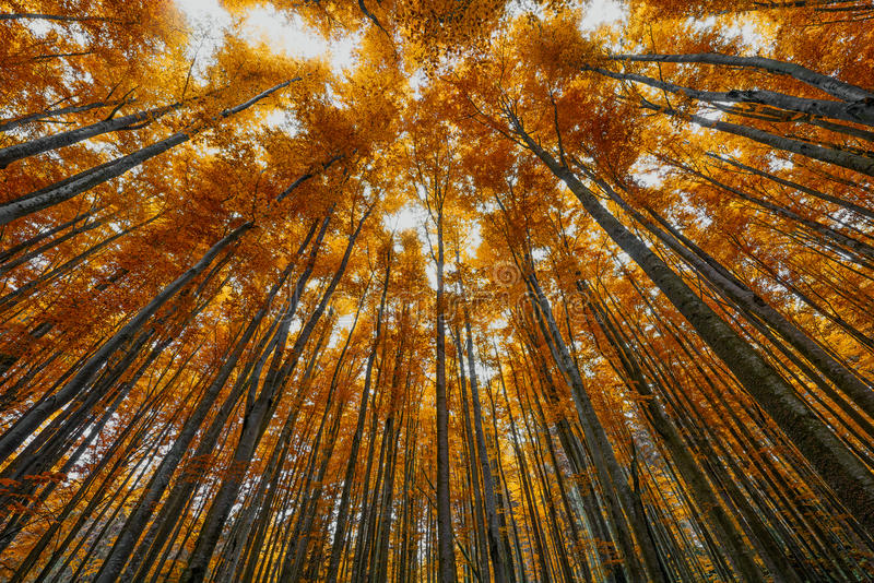 Autumnal forest. High beech trees in autumnal forest stock images