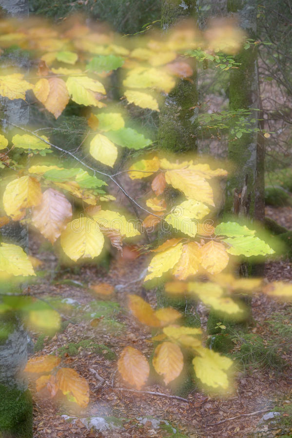 Autumnal forest. With leaves in foreground and double exposere for soft focus on purpose royalty free stock images