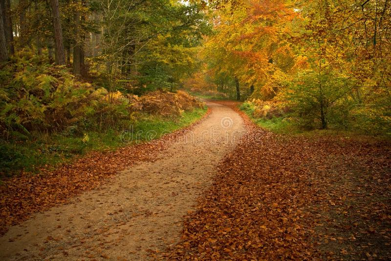 Autumnal forest scene. A colourful, autumnal scene at Cannock Chase forest, UK stock photo