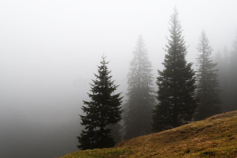 Hillside of spruce trees diminishing in dense fog stock photography