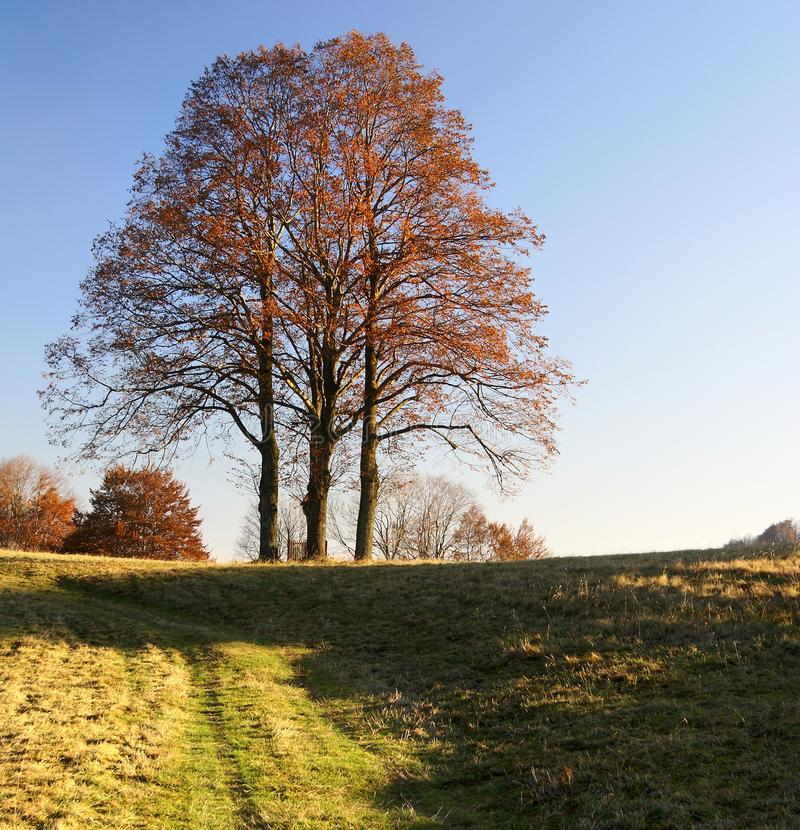 Download Autumnal Group Of Lime Tree Stock Photo - Image: 22265020