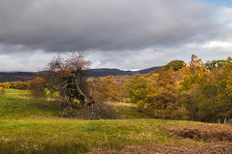 Loch Insh Tree. An autumnal image of a damaged tree near Loch Insh, Strathspey, Scotland. 20 October 2018 stock image