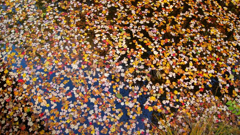 autumnal image of many colorful maple tree leaves floating in water during fall, autumn season in New England royalty free stock images