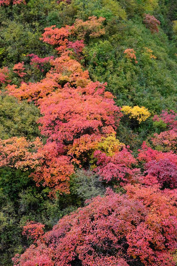 Autumnal forest. The autumnal landscape of forest of Cotinus coggygria royalty free stock photo