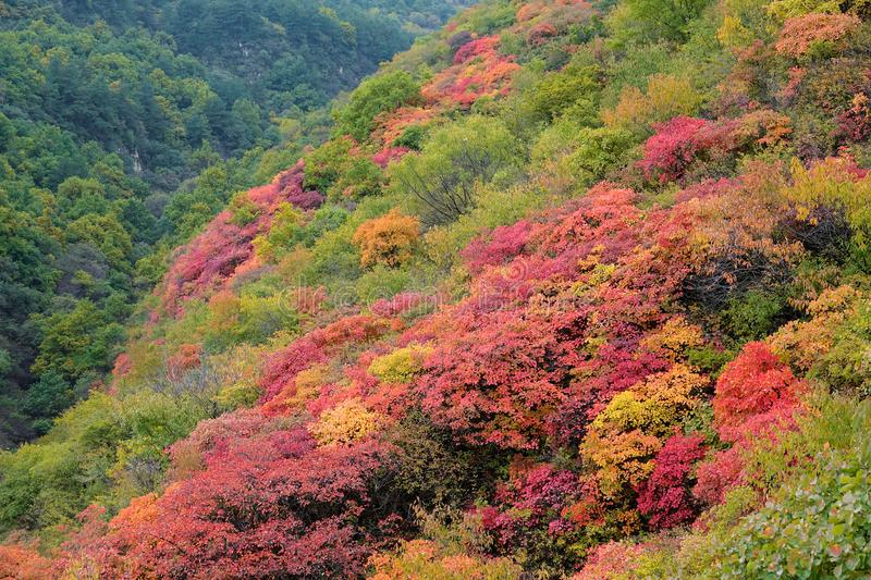 Autumnal forest. The autumnal landscape of forest of Cotinus coggygria stock photos