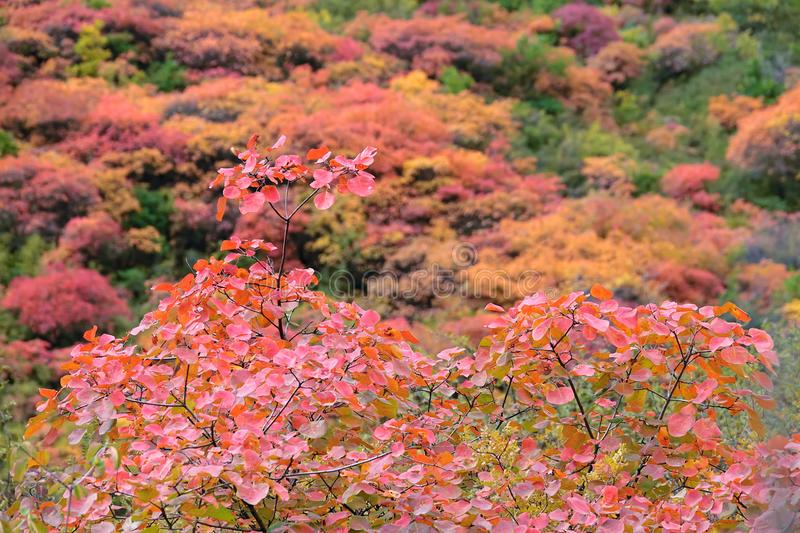 Autumnal forest. The autumnal landscape of forest of Cotinus coggygria stock images