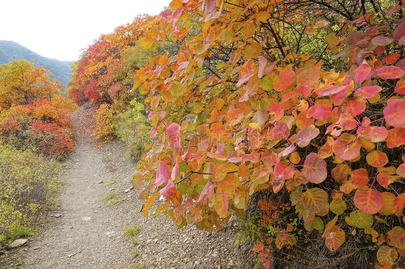 Autumnal forest. The autumnal landscape of forest of Cotinus coggygria stock image