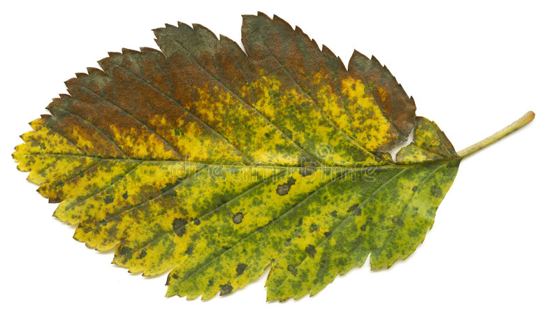 Download Autumnal leaf stock image. Image of above, closeup, nature - 3290437