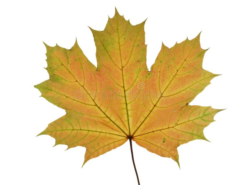 Autumnal leaf of a maple tree isolated on white background. stock photography