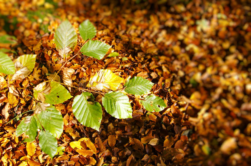 Download Autumnal leaves stock image. Image of nature, closeup - 11438227