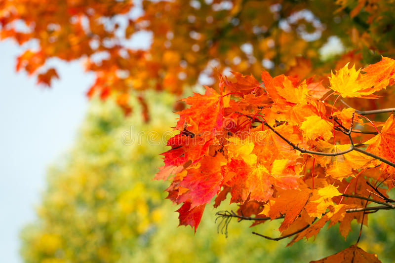 Download Autumnal Leaves On The Tree Stock Photo - Image: 34476920