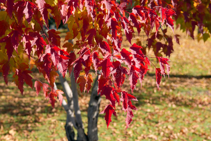 Download Autumnal maple stock photo. Image of maple, trunk, autumn - 34359212