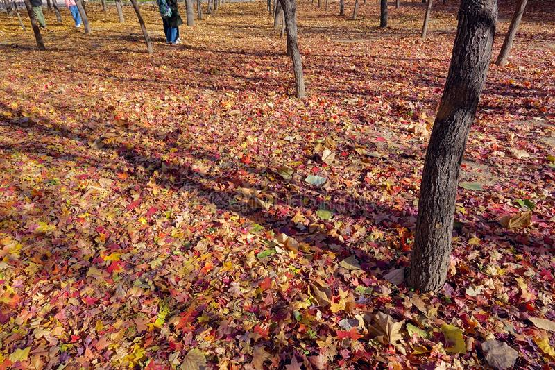 Autumnal maple forest. The autumnal scenery of maple forest royalty free stock photo