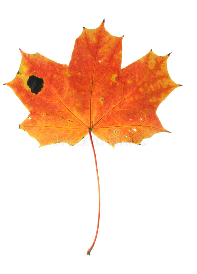 Download Autumnal maple leaf stock image. Image of single, colourful - 4086475