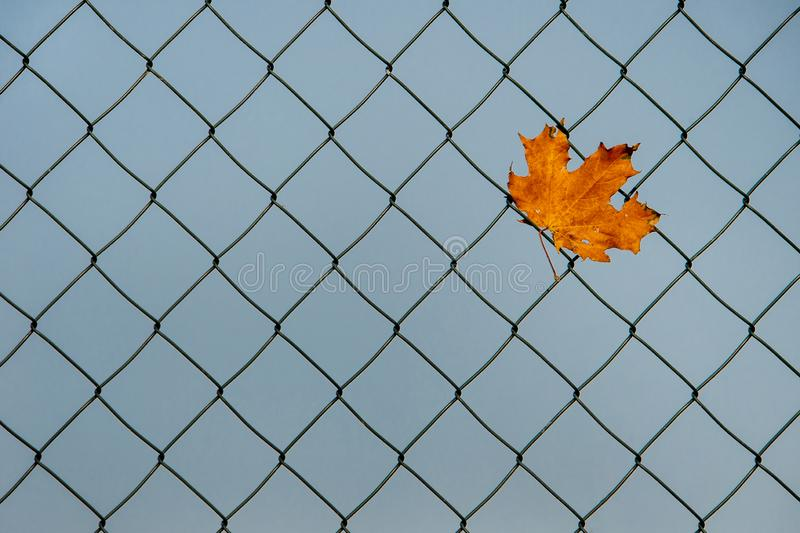 Autumnal maple leaf caught in a wire-mesh fence royalty free stock photo