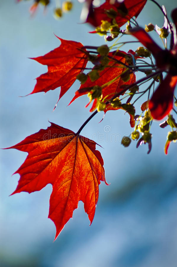 Autumnal Maple leaves. Closeup of red, Autumnal colored Maple leaves royalty free stock photography