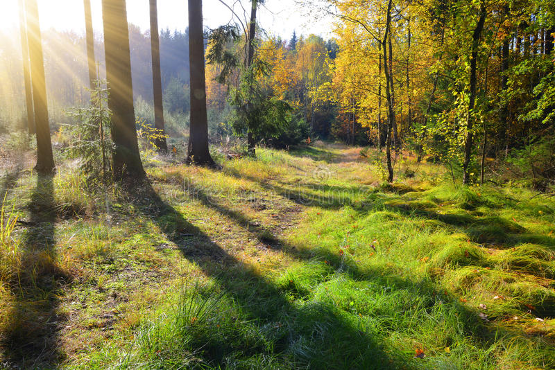 Autumnal morning in the woods royalty free stock images