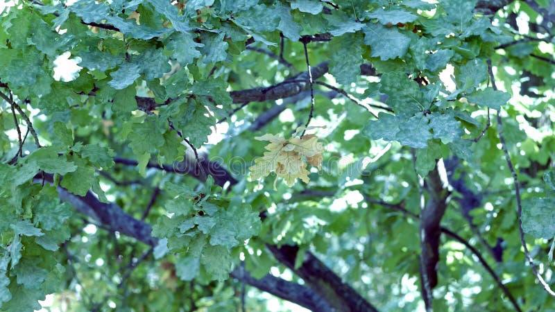 Autumnal Oak Leaves Late summer early autumn sunlight through oak leaves. Autumnal Oak Leaves Late summer early autumn oak leaves stock photography