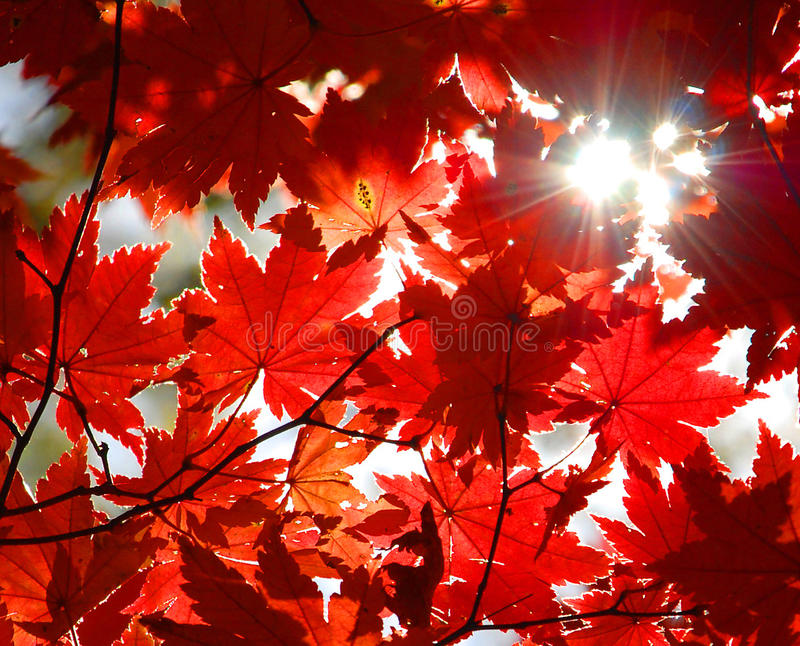Autumnal ornament, red leaves of maple. Autumn, autumnal ornament, red maple leaves , sun through scarlet foliage, texture or background, seasonal wallpaper stock photography
