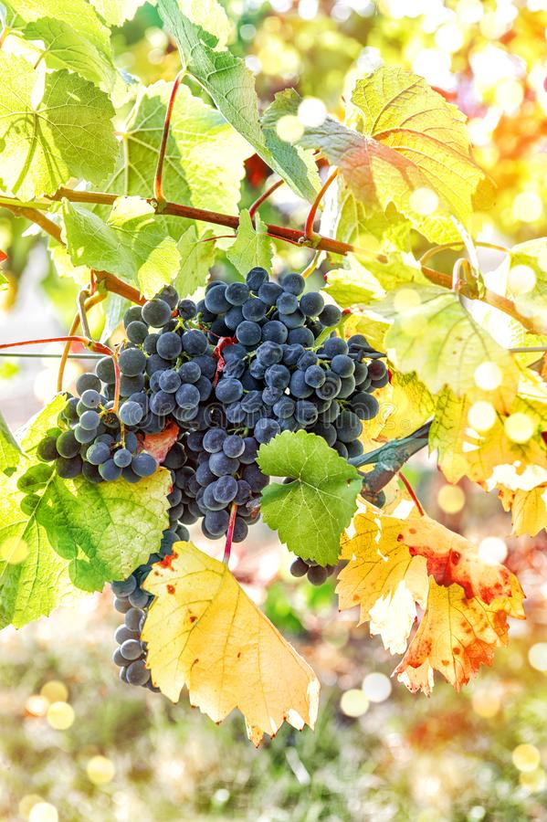 Autumnal outdoor red grapes green leaves vine vintage royalty free stock images