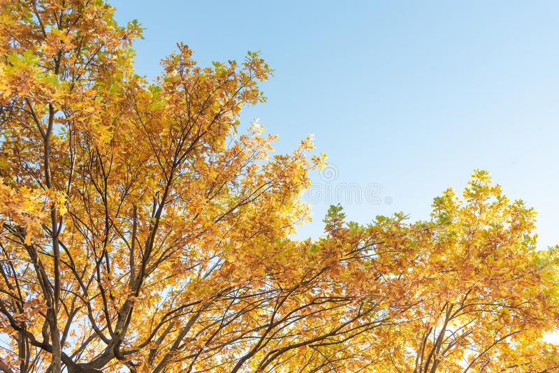 Autumnal Park. Branches of oak with yellowed autumn foliage against blue clear sky. Copy space royalty free stock photography