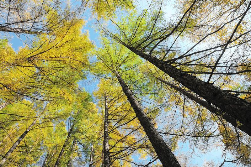 Autumnal pine forest. The close-up of autumnal pine forest. Scientific name:Larix principis stock images