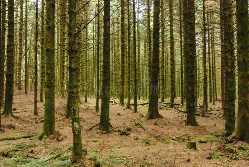 Autumnal Pines and Needles. Autumnal pine woodland in scotland with a forest floor covered in pine needles stock photos