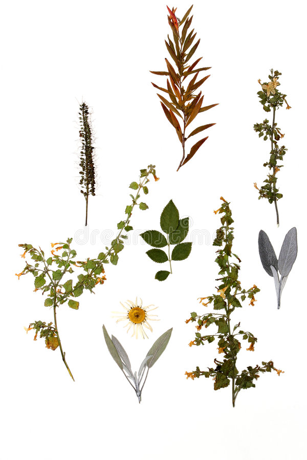 Autumnal Pressings. Selection of dried autumn flowers, herbs and plants on a white background royalty free stock image