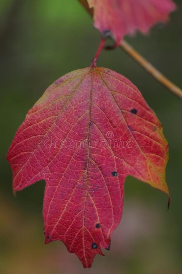 Autumnal red leaf royalty free stock photos