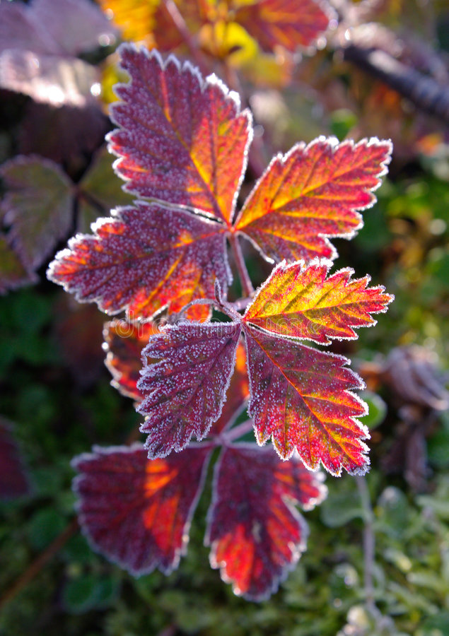 Autumnal red leaves. Early morning with hoar-frost royalty free stock image