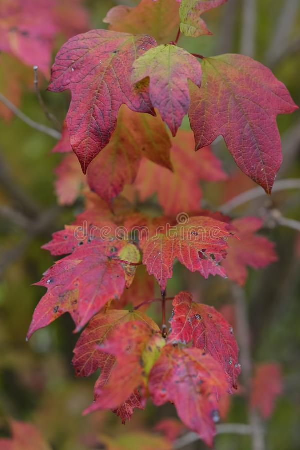 Autumnal red and yellow leafs stock photos