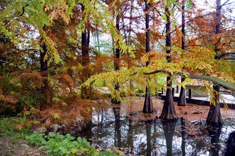 Autumnal scene (Taxodium distichum) royalty free stock images