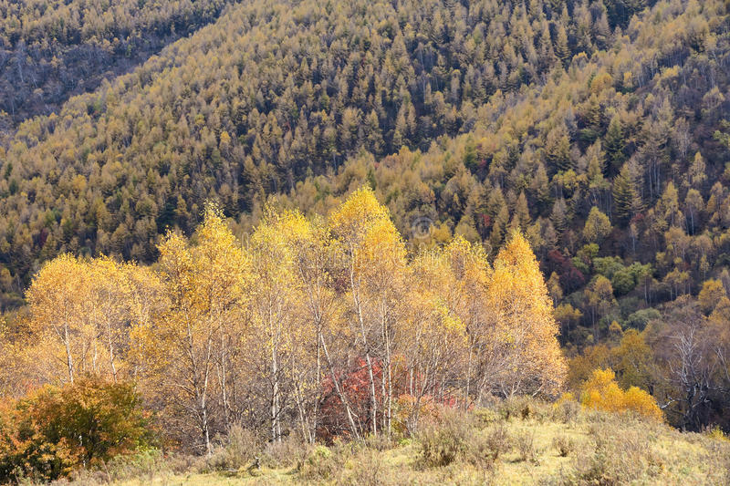Download Autumnal scenery stock image. Image of trees, dahurian - 27061601