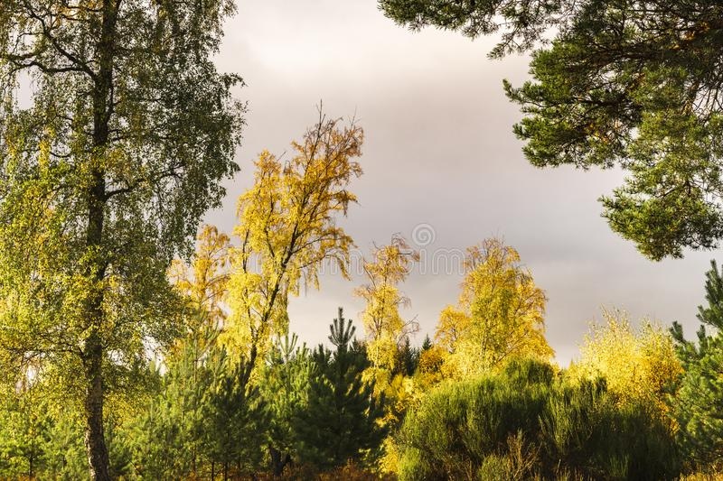 Autumnal Silver Birch. Trees, Betula pendula, amongst some coniferous trees, Strathspey, Scotland. 20 October 2018 royalty free stock photography