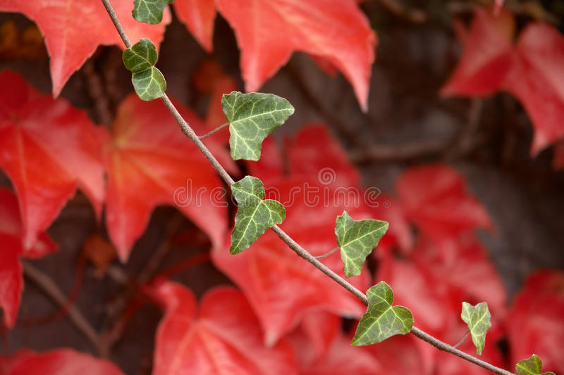 Download Autumnal Sprig With Red Leafage. Royalty Free Stock Images - Image: 12719169