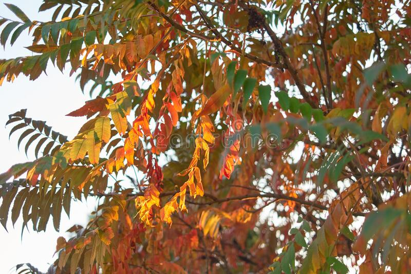 Autumnal tree leaves. Close up royalty free stock photo